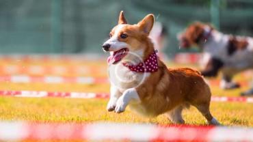 RUSSIAN TOY DOGS Championship Winning
